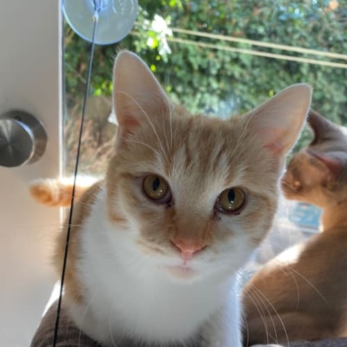 Fox (Located in Hawthorn East) - Domestic Short Hair Cat