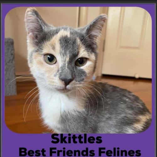 Skittles  - Domestic Short Hair Cat