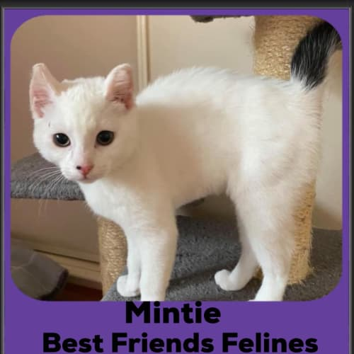 Mintie  - Domestic Short Hair Cat