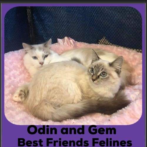 Odin and Gem  - Ragdoll Cat