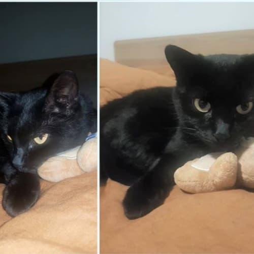 2356 – Cadee - Domestic Short Hair Cat