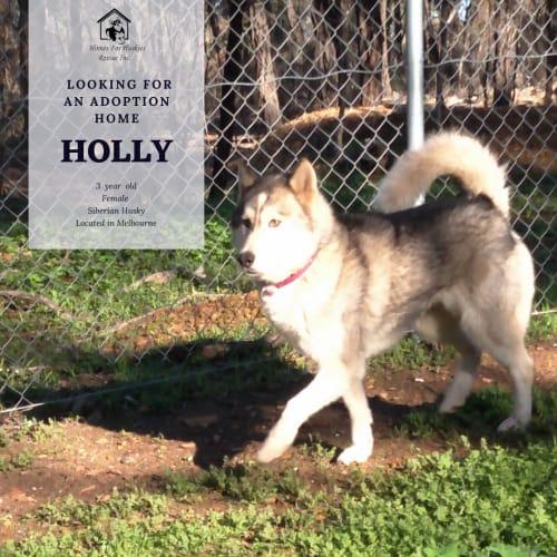 Holly - Siberian Husky Dog