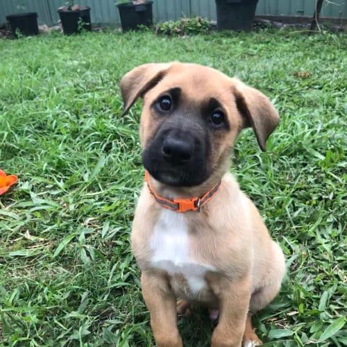 Dean - German Shepherd Dog