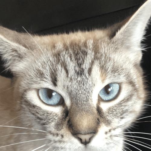 Hershey - Domestic Short Hair Cat