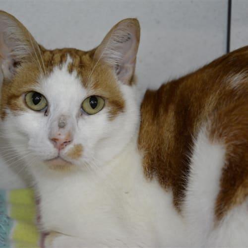 Pandoro - Domestic Short Hair Cat