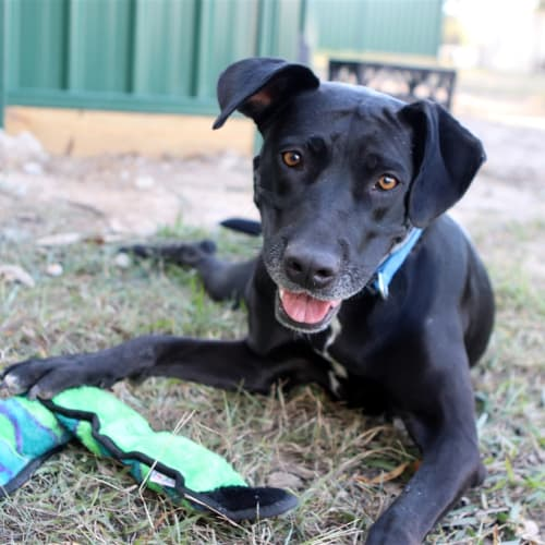 Connie - Labrador Retriever Dog