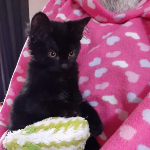 Tiffany - Domestic Medium Hair Cat
