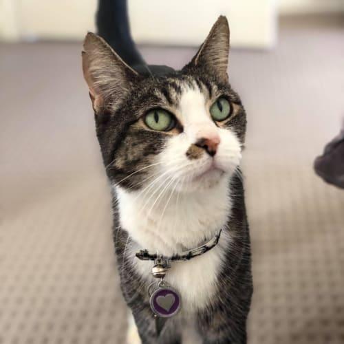 Gus - Domestic Short Hair Cat
