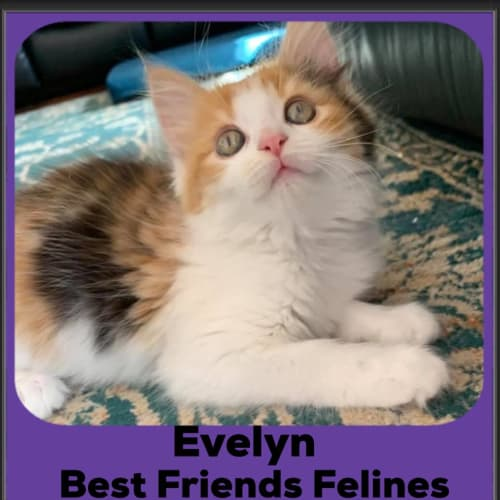 Evelyn  - Domestic Medium Hair Cat