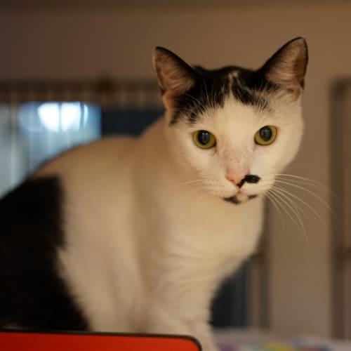 Momo - Domestic Short Hair Cat