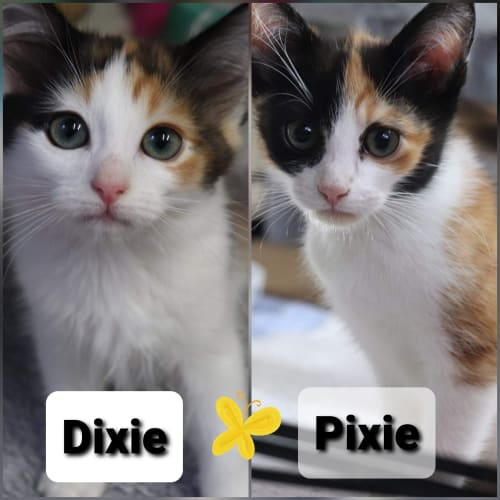 Dixie & Pixie - Domestic Short Hair Cat