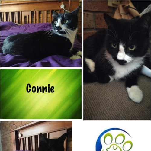 Connie - Domestic Short Hair Cat