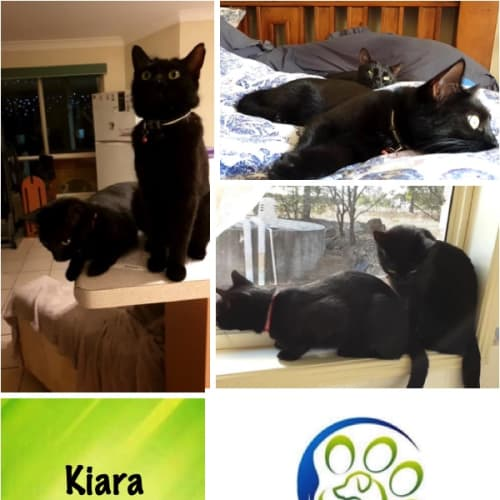 Kiara & Darci - Domestic Short Hair Cat