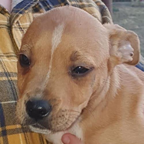 Charlie - Staffordshire Bull Terrier x Australian Cattle Dog