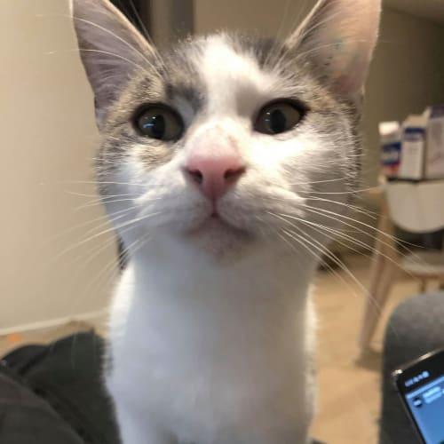 Cam - Domestic Short Hair Cat