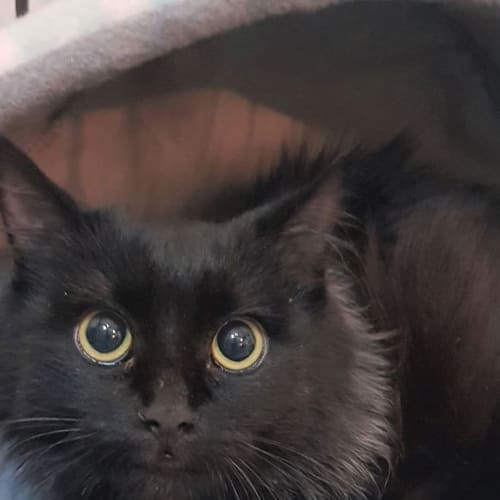 3201 - Loopa - Domestic Medium Hair Cat