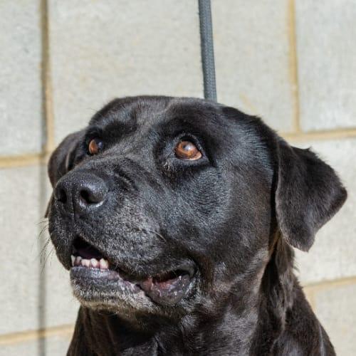 Millie ** Always Smiling ** - Labrador Dog