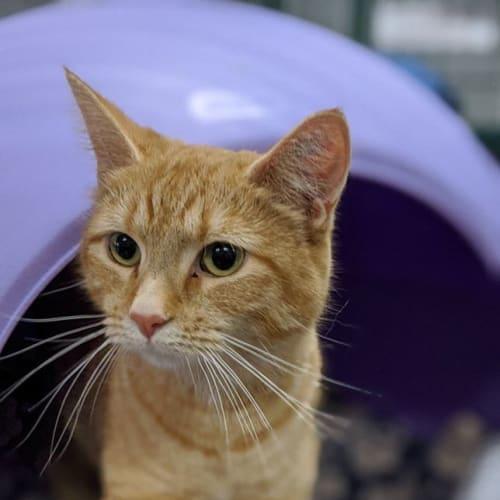 Taryn - Domestic Short Hair Cat