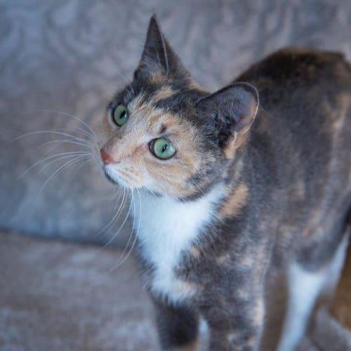 Opal - Domestic Short Hair Cat