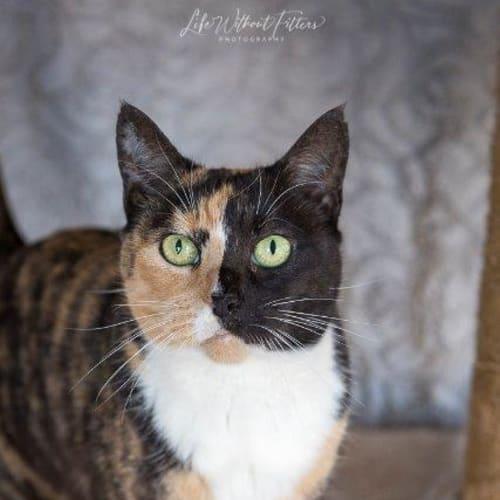 Mercedes - Domestic Short Hair Cat
