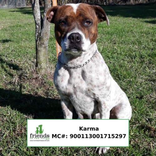 Karma - American Staffordshire Terrier Dog