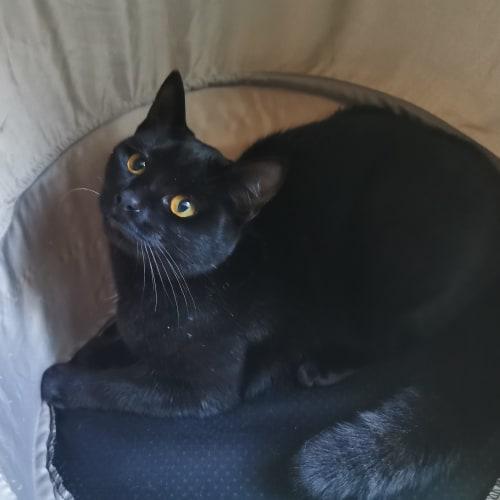 Emmy - Domestic Short Hair Cat