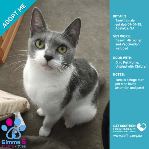 Tami - Domestic Short Hair Cat