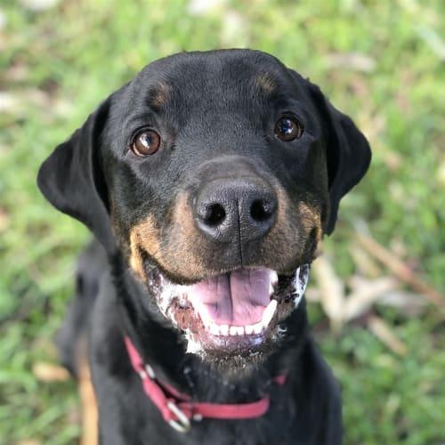 Axel - Rottweiler Dog