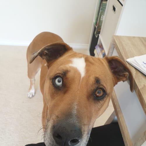 May - Catahoula Dog