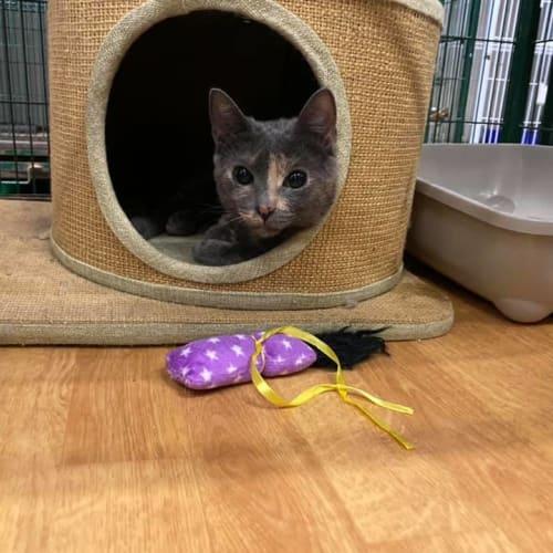 Lillian - Domestic Short Hair Cat
