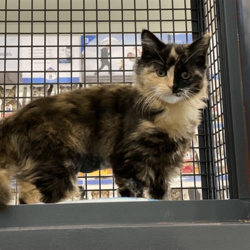 Mittens - Domestic Medium Hair Cat