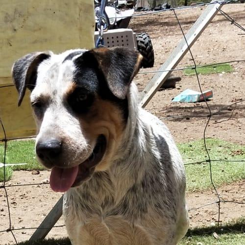 Ally - Australian Cattle Dog