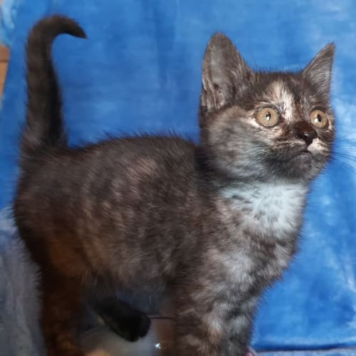 Kelly - Domestic Short Hair Cat