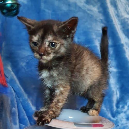 Kris - Domestic Short Hair Cat