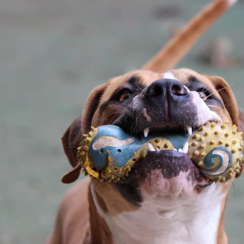 will - Mastiff Dog