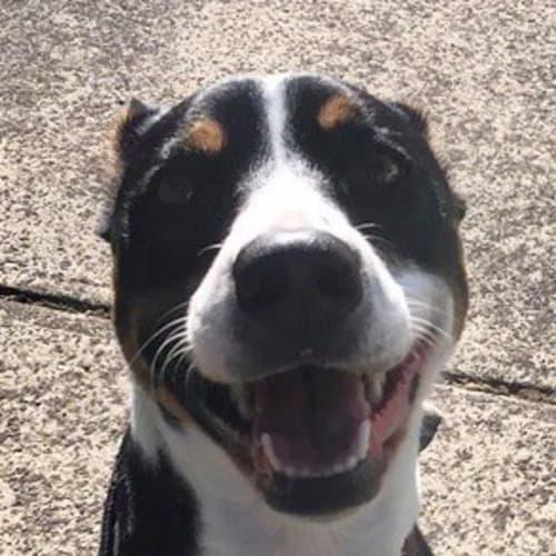 Lucy - Kelpie x Cross breed Dog