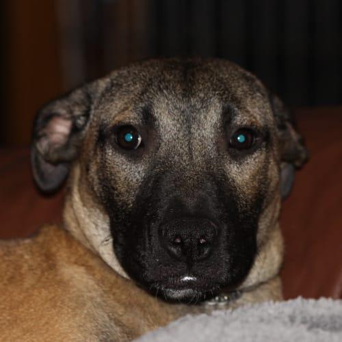 yennifer - Staffy Dog