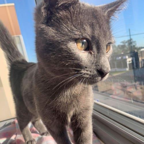Arlo - Domestic Short Hair Cat