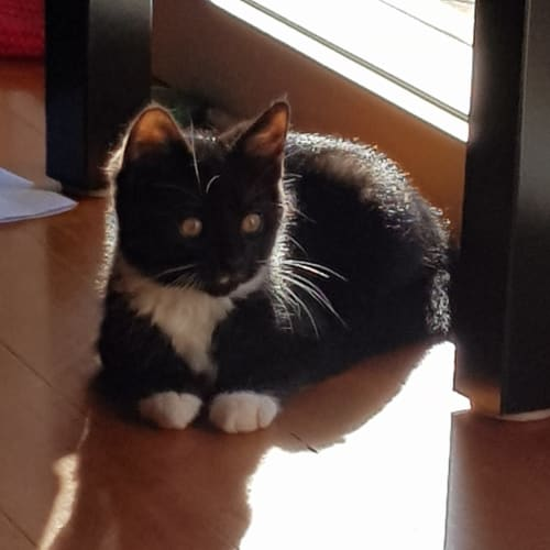 Mumbles - Domestic Short Hair Cat