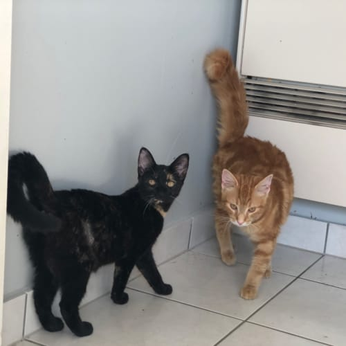 Rocky - Domestic Medium Hair Cat
