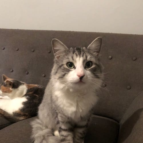 Forest  - Domestic Medium Hair Cat
