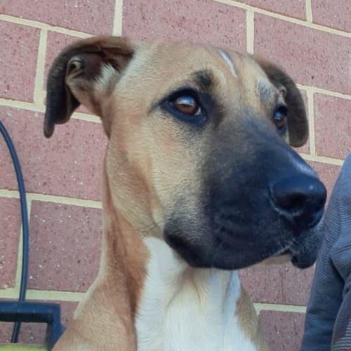Amber - Mastiff x Cross breed Dog