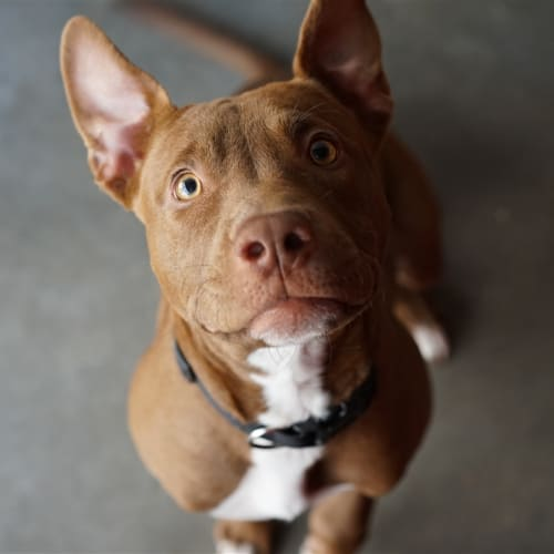 Millie - Australian Bulldog x English Staffordshire Bull Terrier Dog