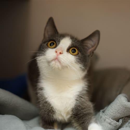 Freya - Domestic Short Hair Cat