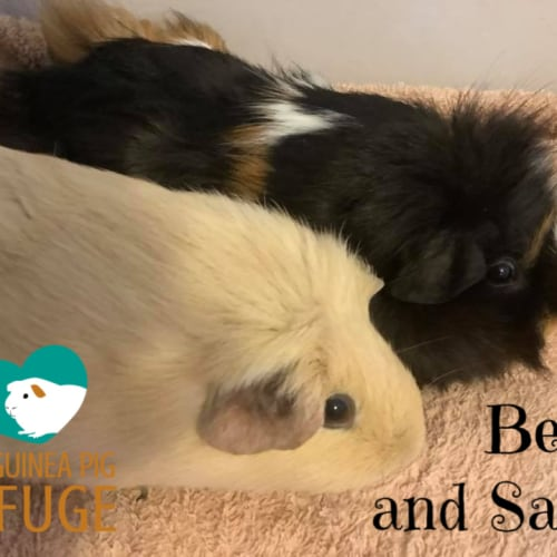 Bella and Sami (unsuitable for children under 12) - Smooth Hair x Abyssinian Guinea Pig