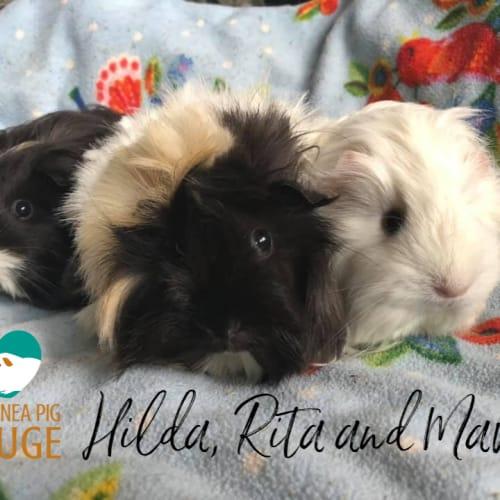 Hilda, Rita and Mavis - Abyssinian x Sheltie Guinea Pig