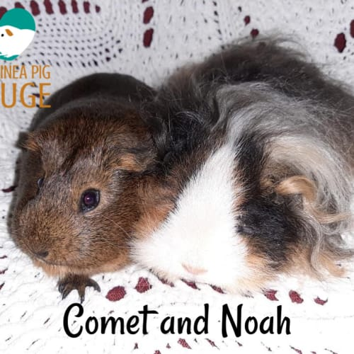 Comet and Noah (desexed male) - Texel x Smooth Hair Guinea Pig