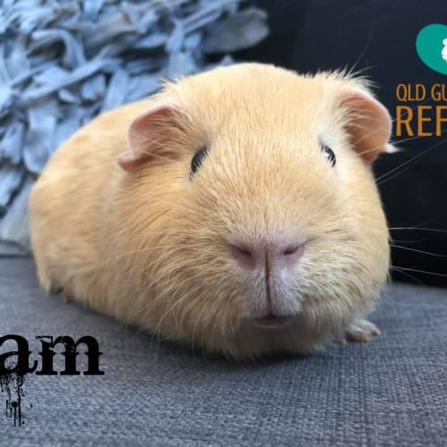 Sam - Smooth Hair Guinea Pig