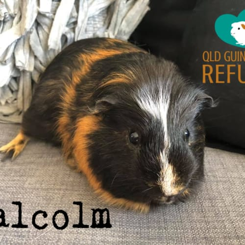 Malcolm - Smooth Hair Guinea Pig