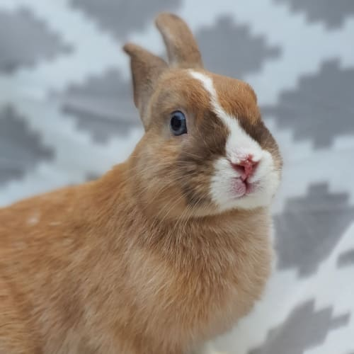 Dylan -  Rabbit